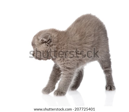 frightened baby kitten in profile. isolated on white background - stock photo
