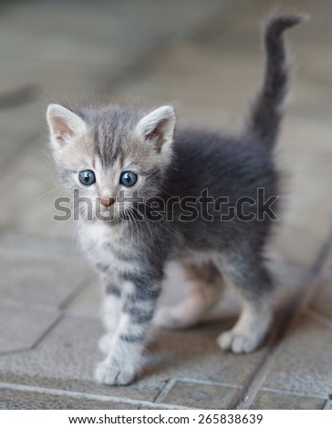frightened gray kitten with big blue eays - stock photo