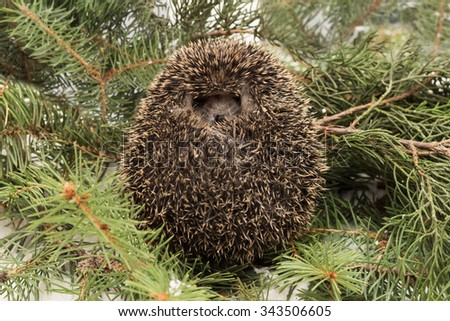 Frightened hedgehog, Atelerix albiventris,  balled up on background  fir and juniper branches on the snow - stock photo