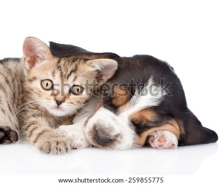frightened kitten lying with basset hound puppy. isolated on white background - stock photo