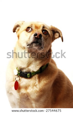 frightened little dog looking up - isolated on white - stock photo