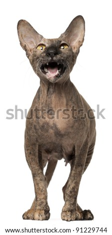 Frightening Peterbald cat with mouth open standing in front of white background - stock photo