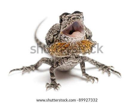 Frill-necked lizard also known as the frilled lizard, Chlamydosaurus kingii, in front of white background - stock photo