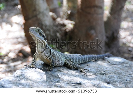 Frilled Lizard - stock photo