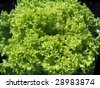 Frisee Lettuce Head in the Field - stock photo