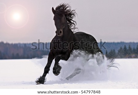 Frisian horse on snow - stock photo