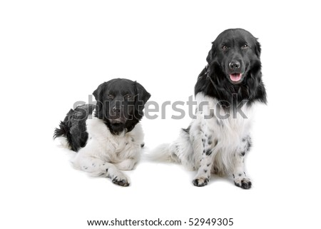 Frisian Pointer,also named as,Stabyhoun, Frisian Pointing Dog, Stabij, Beike ,Staby, in front of a white background