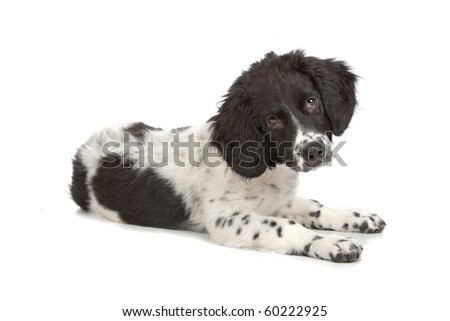 Frisian Staby puppy isolated on a white background - stock photo
