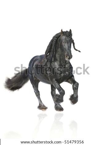 frisian stallion isolated - stock photo