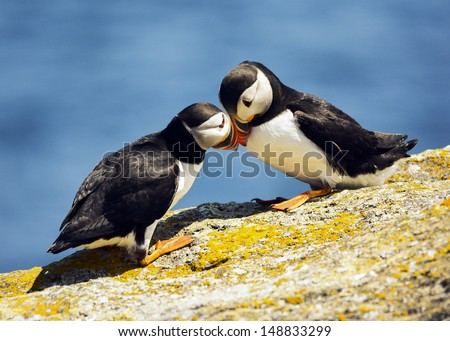 frisky puffin partners - stock photo