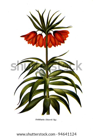 """Fritillaria Eduardi Rgl - an illustration from the book """"Species of flowers bulbes of the Soviet Union"""", Moscow, 1935 - stock photo"""