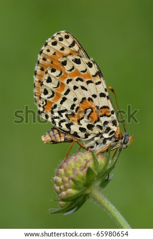 Fritillary butterfly on a flower against a green background. Wings and body perfectly in focal plane.