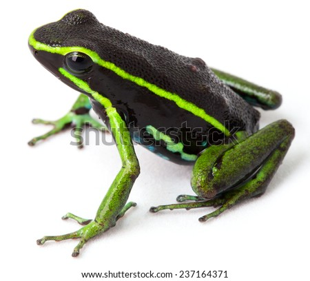 frog Amazon rainforest Peru, poison dart frog amereega trivittatus small tropical amphibian kept in rain forest terrarium - stock photo