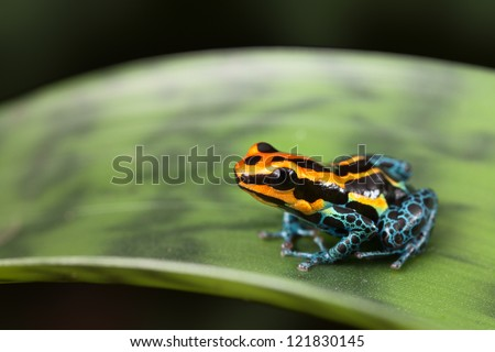 frog Amazon rainforest Peru, poison dart frog Ranitomeya ventrimaculata small tropical amphibian kept in rain forest terrarium - stock photo