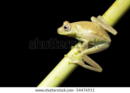 frog amphibian treefrog rainforest branch tropical - stock photo