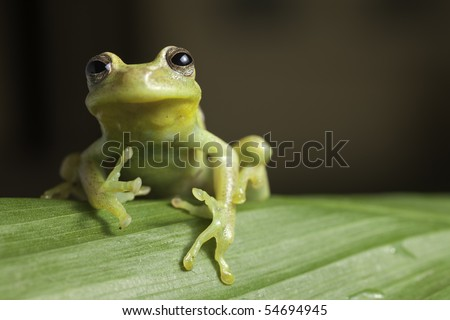 frog amphibian treefrog rainforest branch tropical - stock photo
