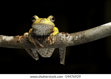 frog amphibian treefrog rainforest branch tropical at night in amazon jungle - stock photo
