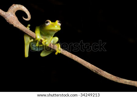 frog at night on a branch in the Bolivian rainforest Hypsiboas cinerescens