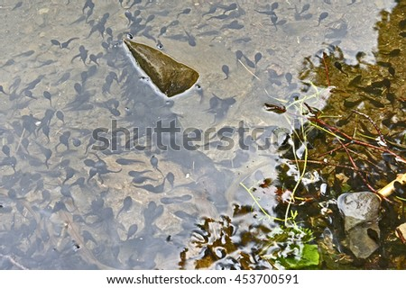 Frog children Tadpoles  enjoy life by  swimming in water  near bank of  lake
