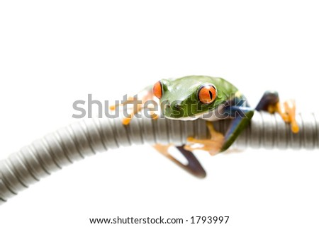 frog climbing on spiral tubing, red-eyed tree frog. isolated over white, a highkey macro with shallow depth of field and focus on eye. - stock photo