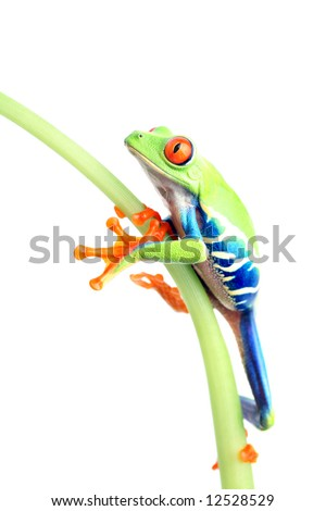 frog climbing up plant stem isolated on white. A red-eyed tree frog (Agalychnis callidryas) closeup - stock photo