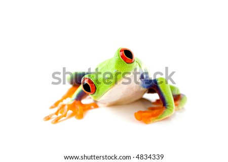 frog curiously looks into camera - a red-eyed tree-frog (Agalychnis callidryas) macro with focus on eyes, isolated on white - stock photo