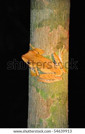Frog, Danum Valley, Borneo- Malaysia - stock photo