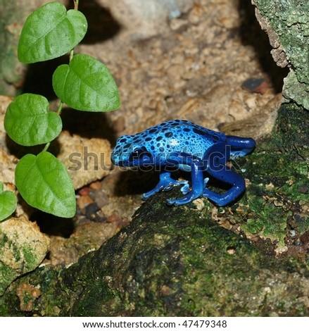 Frog - Dendrobates azureus - stock photo