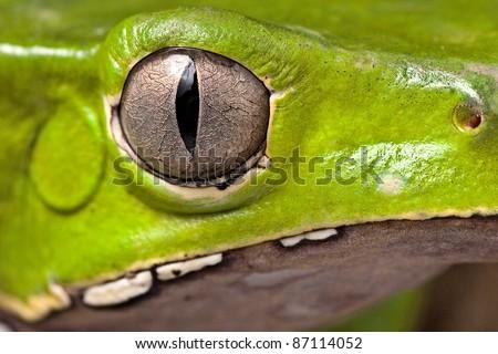 frog eye amphibian vertical pupil beautiful animal detail of iris Phyllomedusa bicolor - stock photo