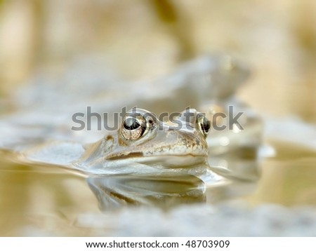 Frog floating in a pond near the forest. Photo taken in April. - stock photo