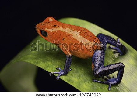 frog from the tropical rain fortest of Costa Rica Dendrobates pumilio Guapiles (blue jeans) or strawberry poison arrow frog  - stock photo