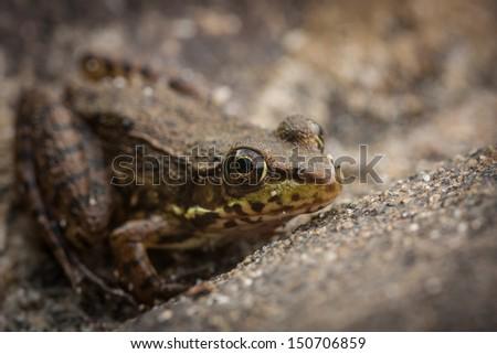 Frog Hiding - stock photo