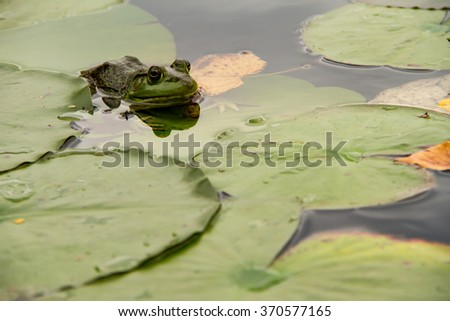 Frog hiding in the lilypads waiting to eat - stock photo