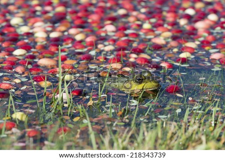 Frog in a cranberry bog during harvest - stock photo
