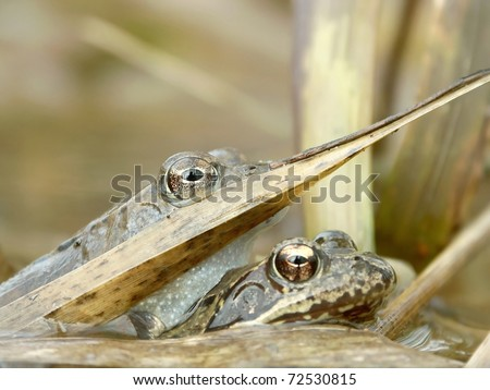 Frog in a forest pond hidden behind the reed. - stock photo