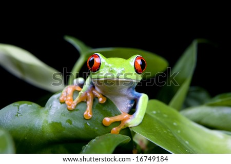 frog in a plant isolated on solid black - a red-eyed tree frog (Agalychnis Callidryas) - stock photo