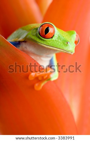 frog in a plant - red-eyed tree frog peeking out from a guzmania. closeup, focus on eye. - stock photo