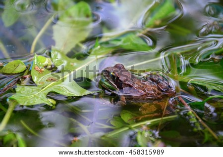 Frog in a pond looking out of the water, Rana temporaria - stock photo