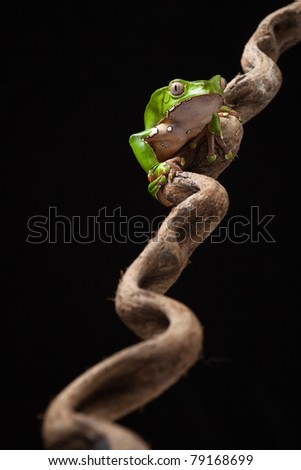 Frog in Amazon rainforest monkey tree frog Phyllomedusa bicolor sitting at night on a diagonal branch beautiful green amphibian and nocturnal and poisonous animal macro copy space black background - stock photo