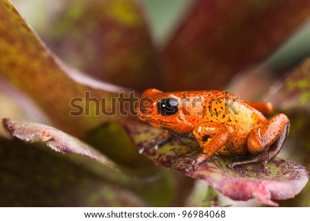frog in bright red with black spots strawberry poison dart frog of rainforest Panama - stock photo