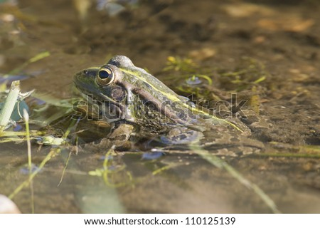 Frog in its environment with part of its body out of the water.