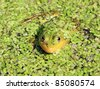 frog in marsh amongst duckweed - stock photo
