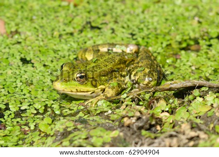 frog in pond. nature wildlife - stock photo