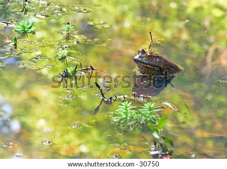 Frog in pond stalking insects - stock photo