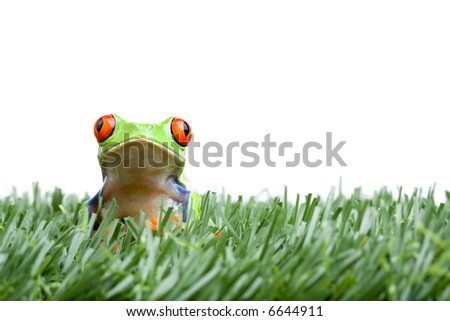 frog in the grass, a red-eyed tree frog closeup isolated on white - stock photo