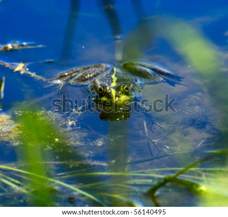 frog in the lake, watching photographer - stock photo