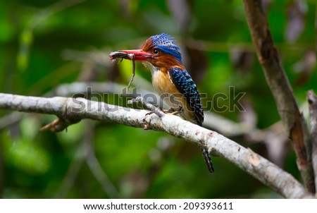 frog in the mouth male banned-kingfisher bird