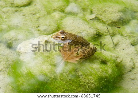 Frog in water - stock photo