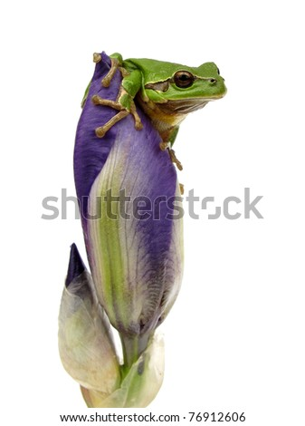 Frog is watching environment from iris flower bud - stock photo