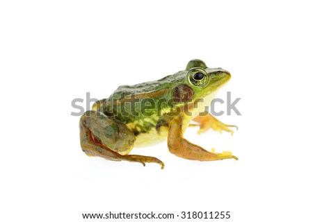 Frog isolated on a white background  - stock photo
